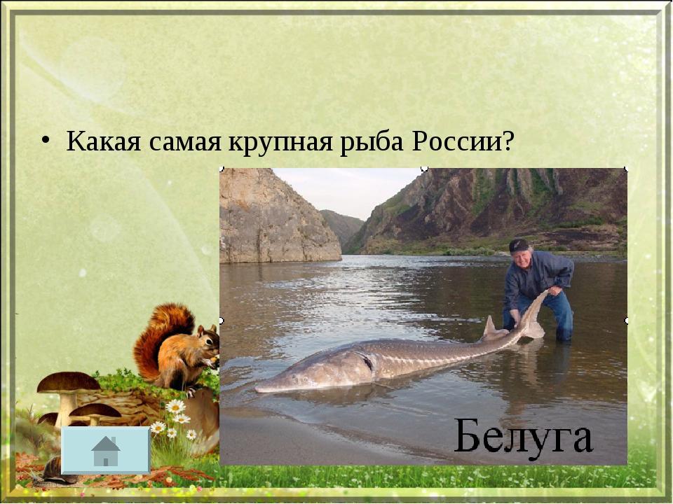 Какая самая крупная рыба России?