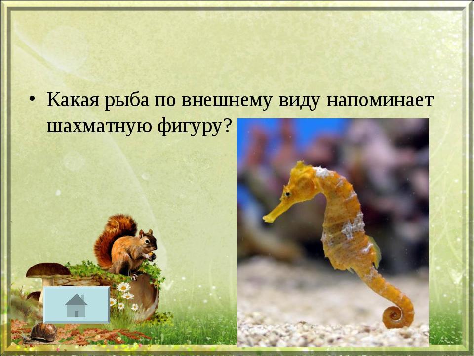 Какая рыба по внешнему виду напоминает шахматную фигуру?
