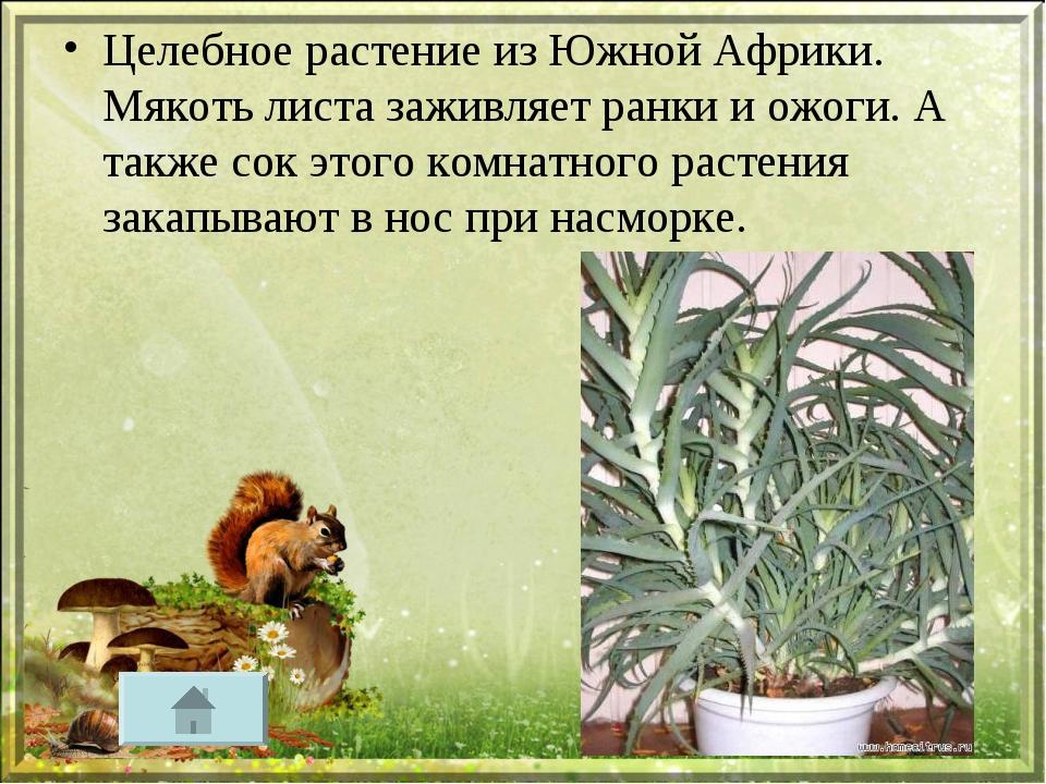Целебное растение из Южной Африки. Мякоть листа заживляет ранки и ожоги. А та...