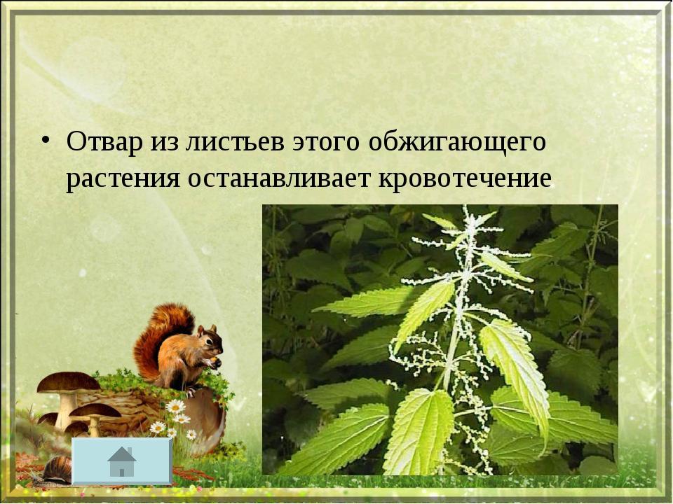 Отвар из листьев этого обжигающего растения останавливает кровотечение