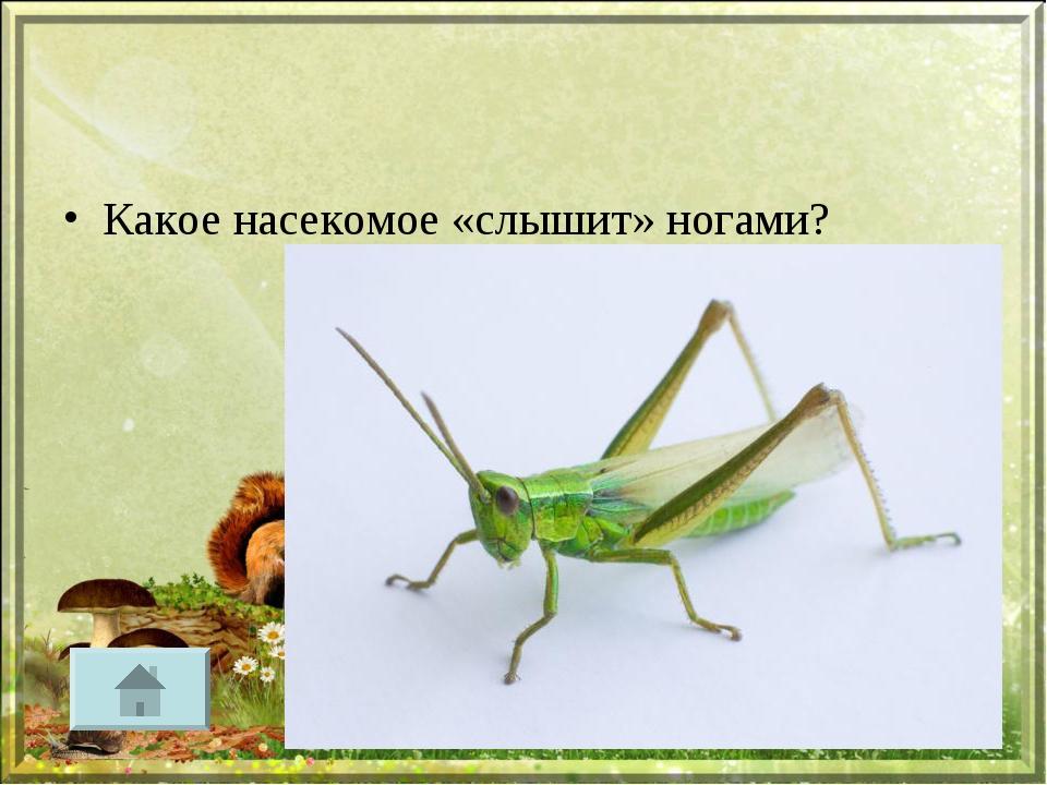 Какое насекомое «слышит» ногами?
