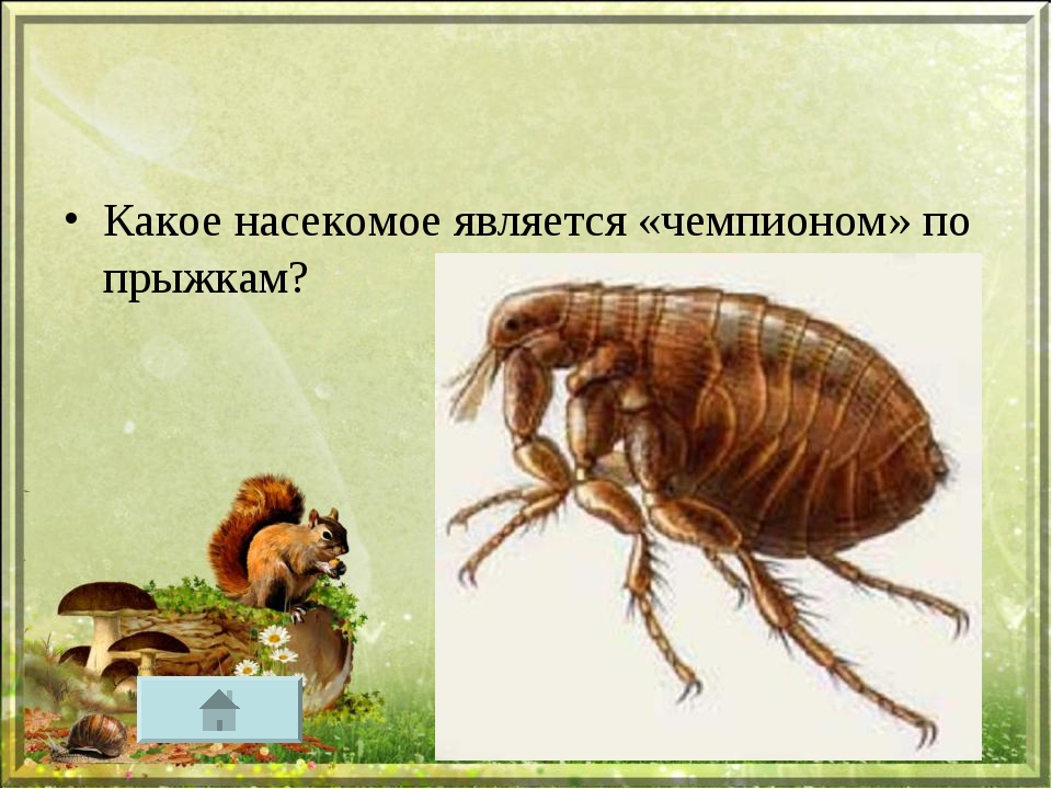 Какое насекомое является «чемпионом» по прыжкам?