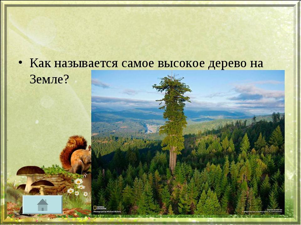Как называется самое высокое дерево на Земле?