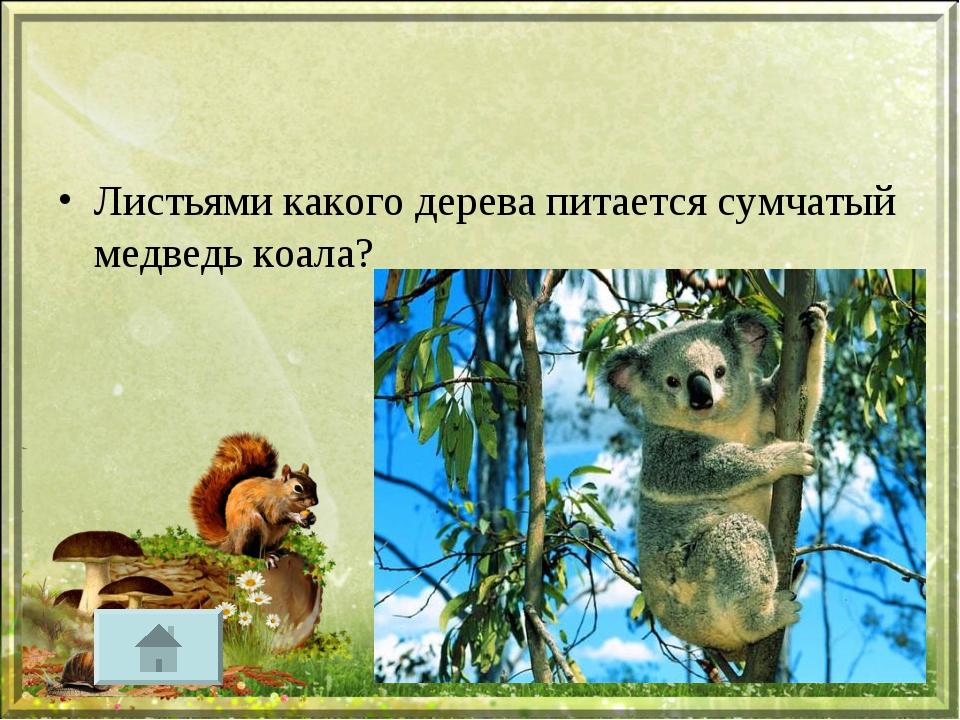 Листьями какого дерева питается сумчатый медведь коала?