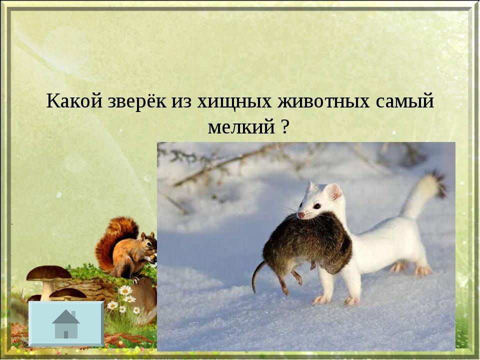 Какой зверёк из хищных животных самый мелкий ?