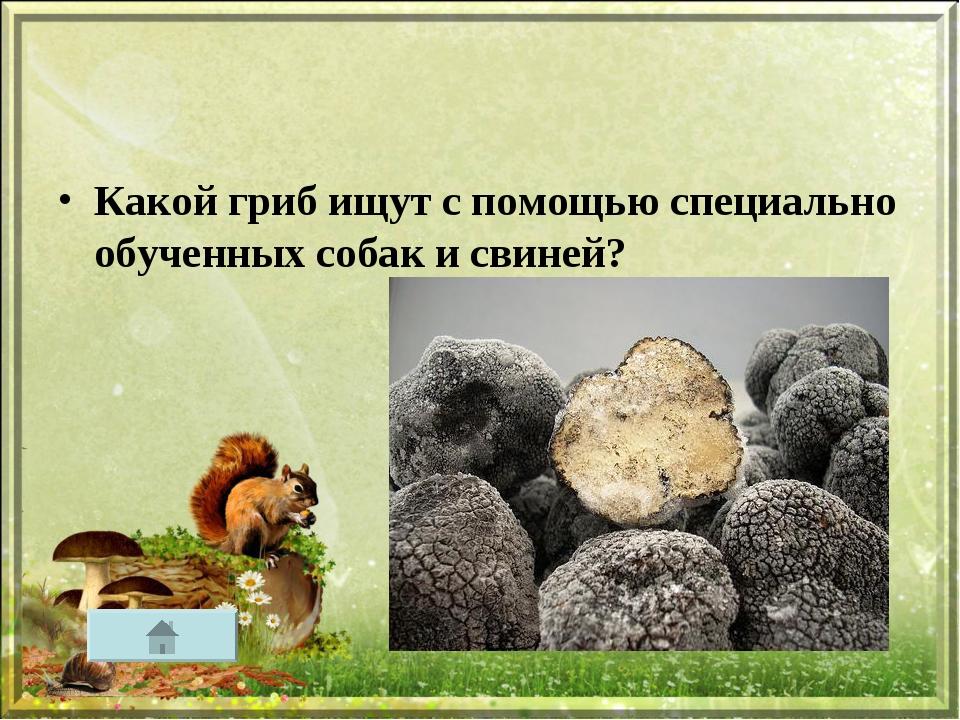 Какой гриб ищут с помощью специально обученных собак и свиней?