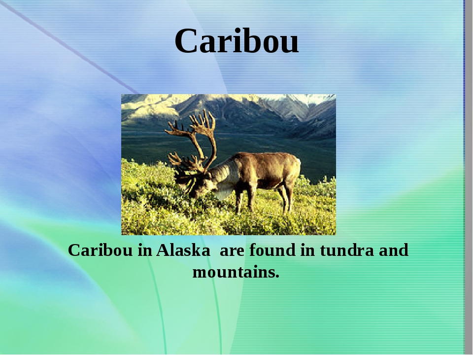 Caribou Caribou in Alaska are found in tundra and mountains.