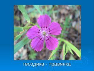 гвоздика - травянка