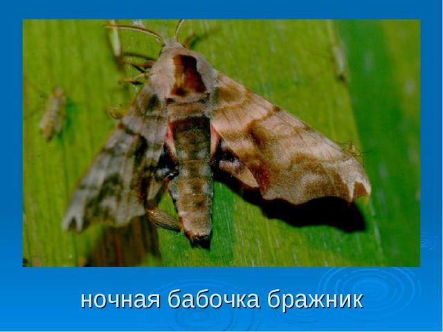 ночная бабочка бражник