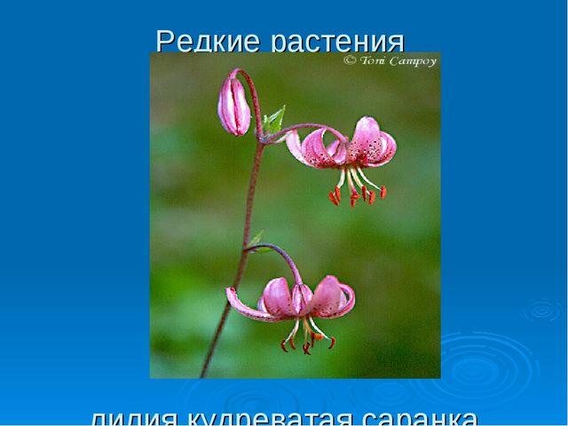 Редкие растения лилия кудреватая саранка