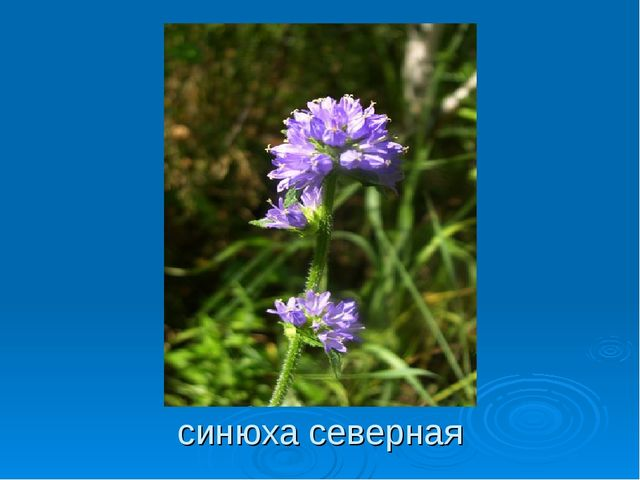 синюха северная