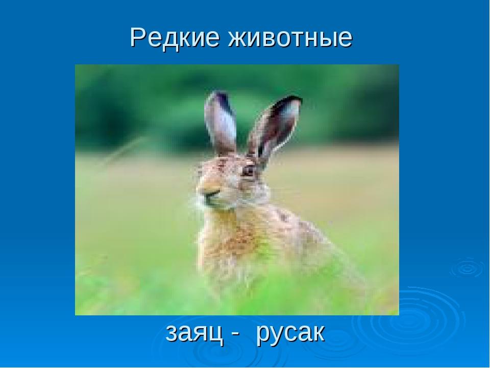 Редкие животные заяц - русак