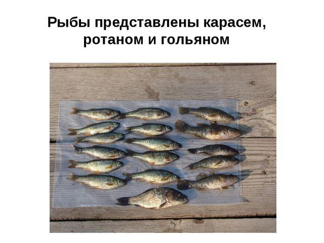 Рыбы представлены карасем, ротаном и гольяном