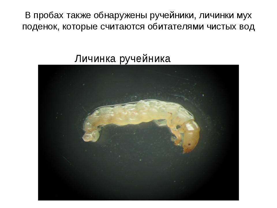 В пробах также обнаружены ручейники, личинки мух поденок, которые считаются о...