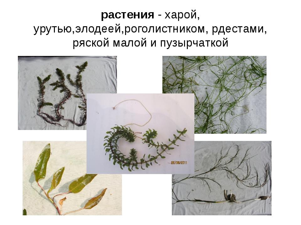 растения - харой, урутью,элодеей,роголистником, рдестами, ряской малой и пузы...