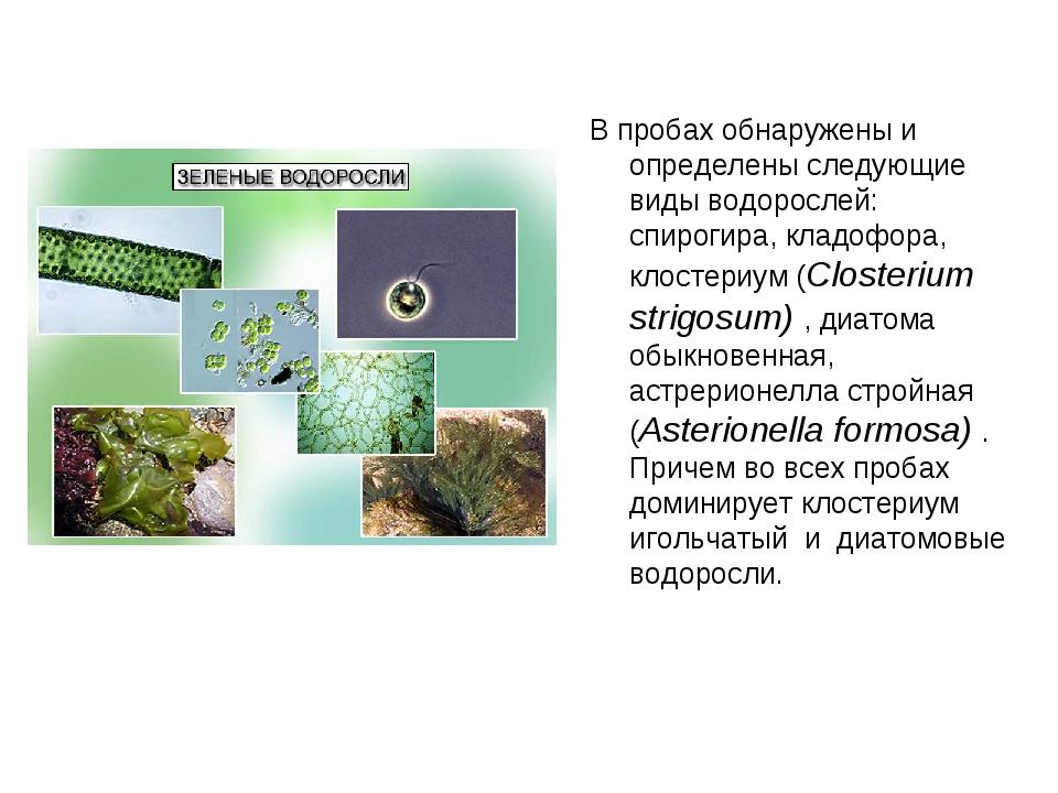 В пробах обнаружены и определены следующие виды водорослей: спирогира, кладоф...
