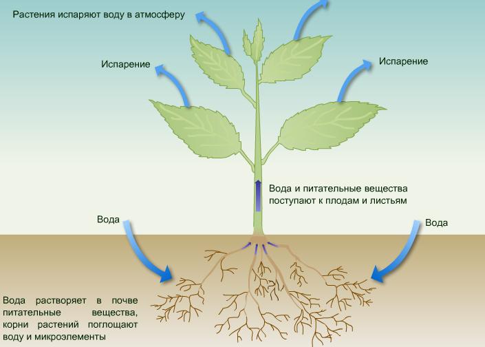 Связанная вода в растении это