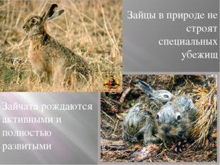 Зайцы в природе не строят специальных убежищ Зайчата рождаются активными и п