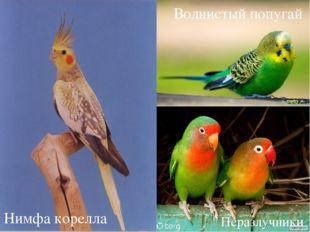 Нимфа корелла Волнистый попугай Неразлучники