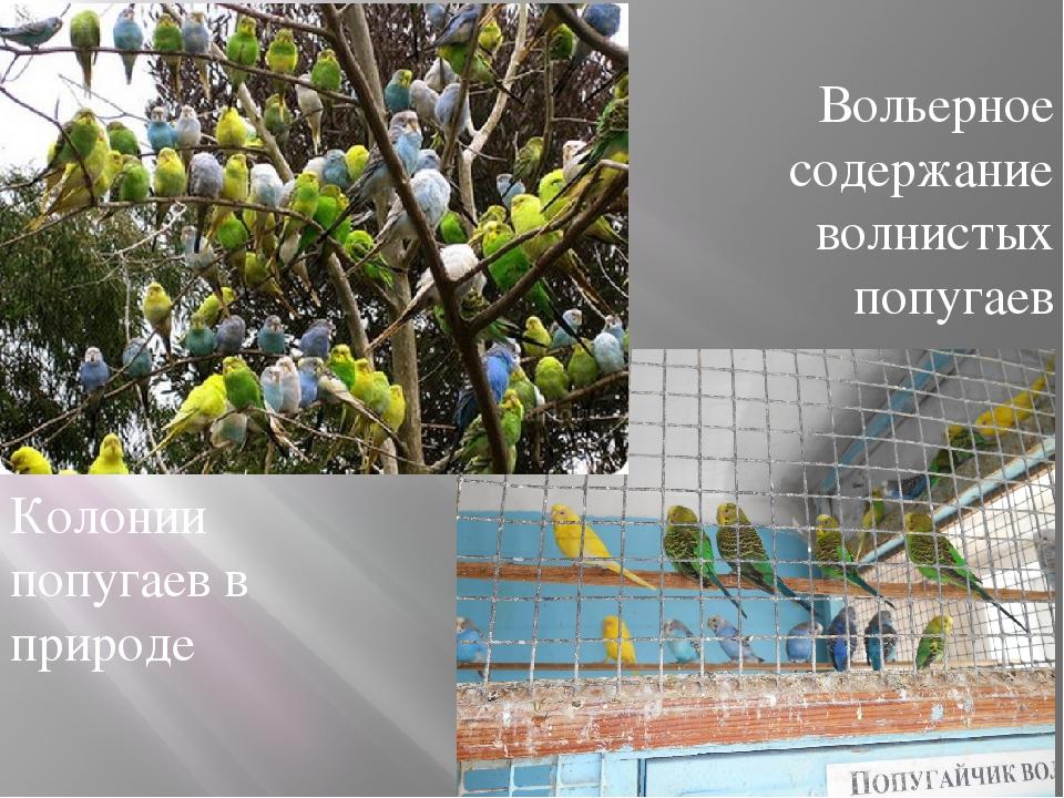 Колонии попугаев в природе Вольерное содержание волнистых попугаев