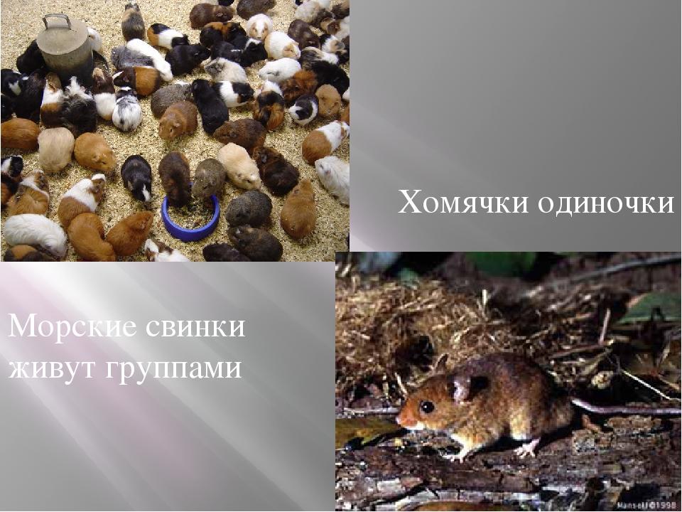 Морские свинки живут группами Хомячки одиночки