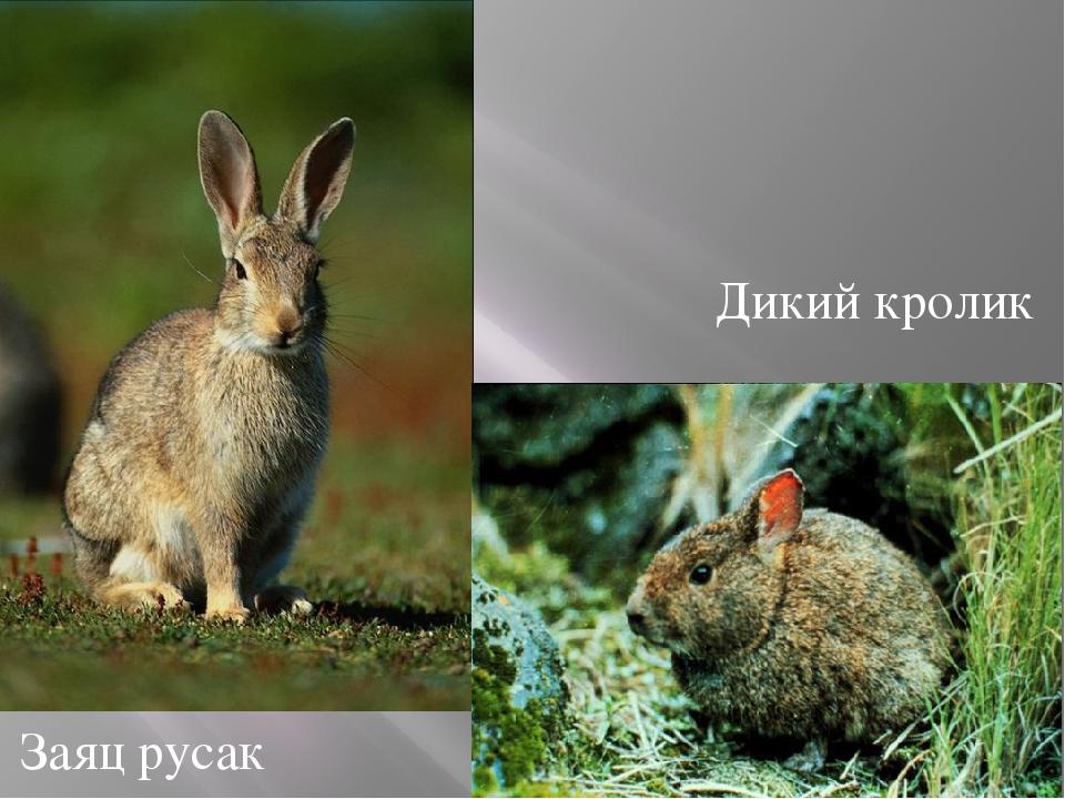 Дикий кролик Заяц русак