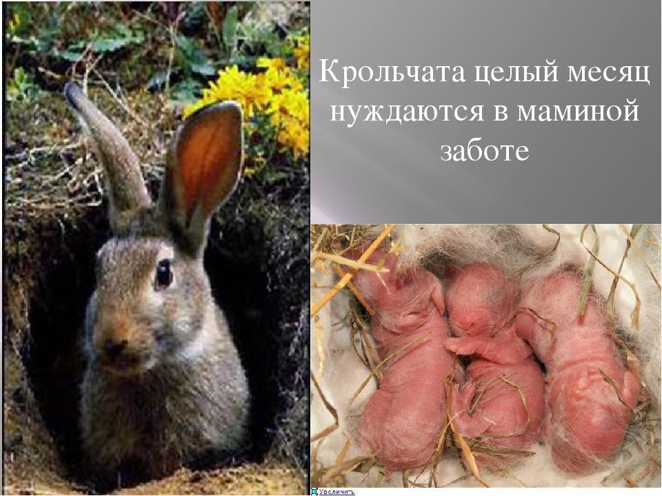Крольчата целый месяц нуждаются в маминой заботе