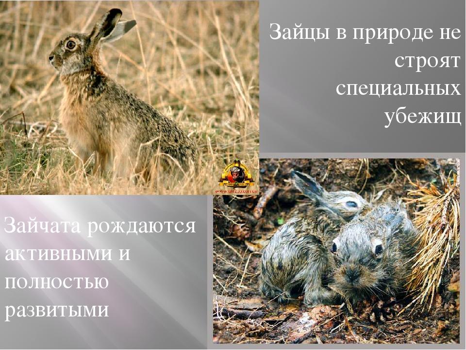 Зайцы в природе не строят специальных убежищ Зайчата рождаются активными и п...