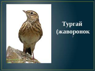 Тургай (жаворонок)