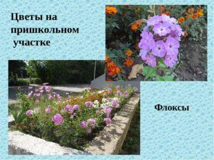 Цветы на пришкольном участке Флоксы