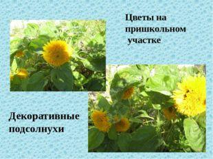Цветы на пришкольном участке Декоративные подсолнухи