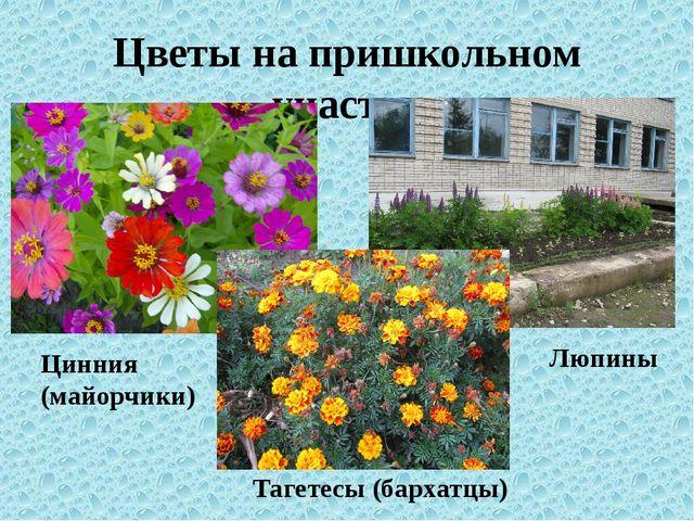 Цветы на пришкольном участке Цинния (майорчики) Тагетесы (бархатцы) Люпины