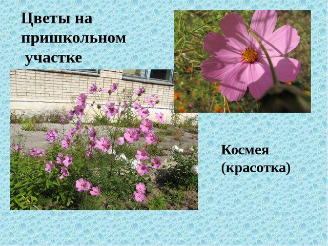 Цветы на пришкольном участке Космея (красотка)