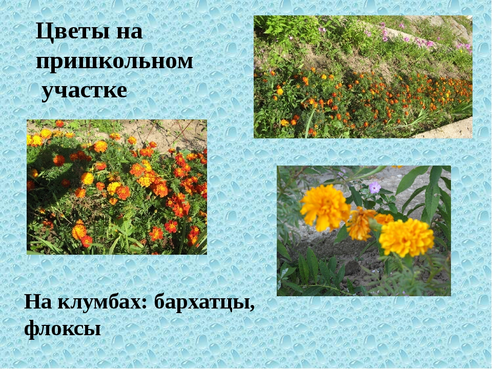 Цветы на пришкольном участке На клумбах: бархатцы, флоксы