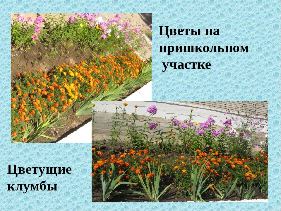 Цветы на пришкольном участке Цветущие клумбы