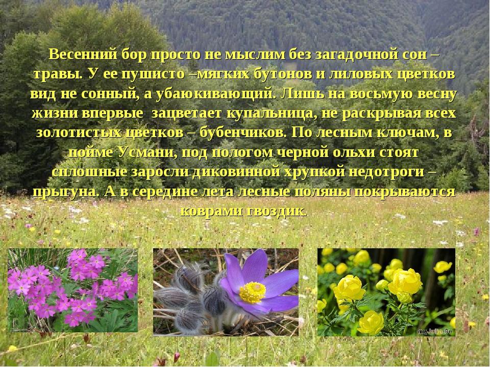 Весенний бор просто не мыслим без загадочной сон –травы. У ее пушисто –мягких...