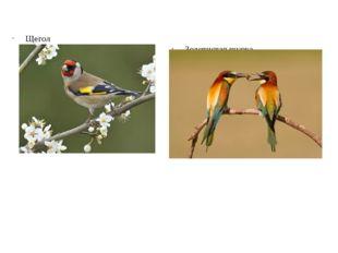Щегол Это небольшая птичка, с очаровательной внешностью, приятным голосом и к