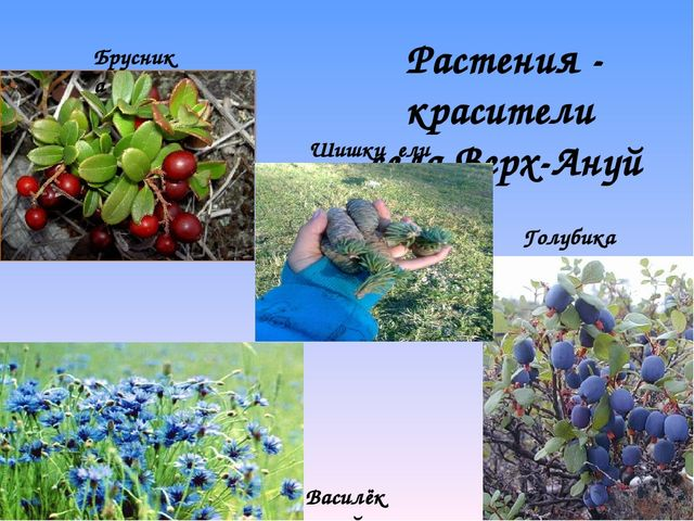 Растения - красители села Верх-Ануй Шишки ели Брусника Голубика Василёк синий