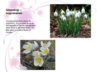 Snowdrop – подснежник The snowdrop is the flower for JANUARY. It is as white
