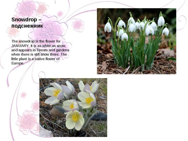 Snowdrop – подснежник The snowdrop is the flower for JANUARY. It is as white...
