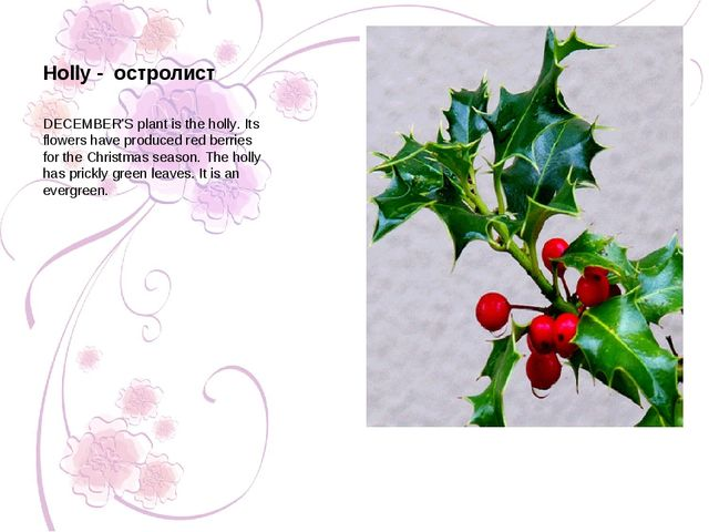 Holly - остролист DECEMBER'S plant is the holly. Its flowers have produced re...