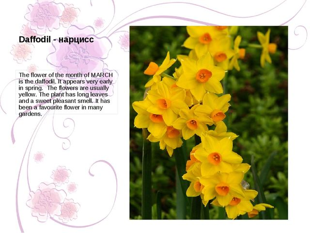 The flower of the month of MARCH is the daffodil. It appears very early in sp...