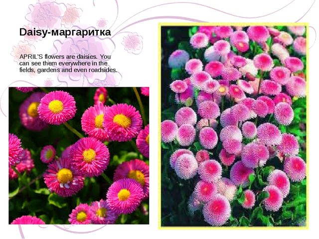 APRIL'S flowers are daisies. You can see them everywhere in the fields, garde...