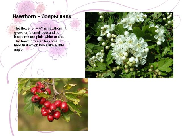 The flower of MAY is hawthorn. It grows on a small tree and its blossoms are...