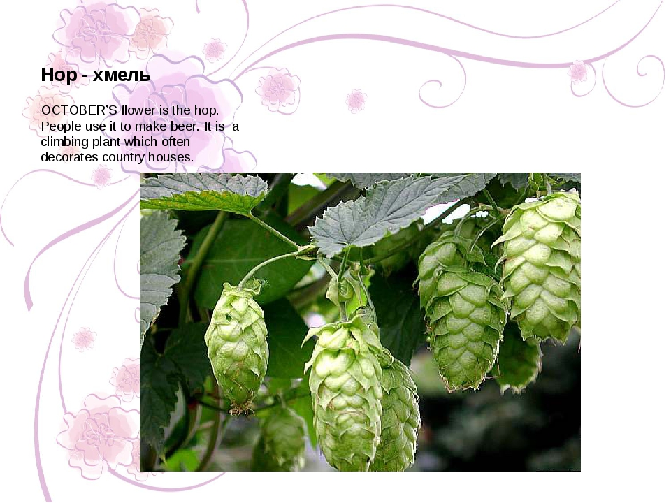 OCTOBER'S flower is the hop. People use it to make beer. It is a climbing pla...