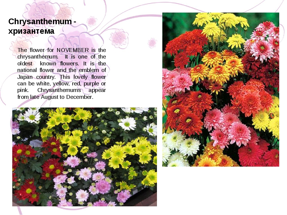 The flower for NOVEMBER is the chrysanthemum. It is one of the oldest known f...