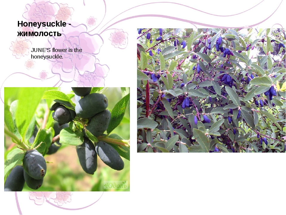 Honeysuckle - жимолость JUNE'S flower is the honeysuckle.
