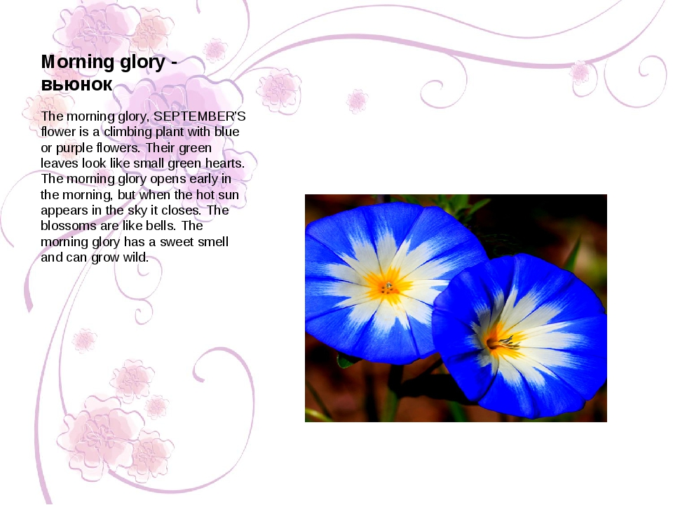 Morning glory - вьюнок The morning glory, SEPTEMBER'S flower is a climbing pl...