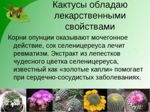 Кактусы обладаю лекарственными свойствами Корни опунции оказывают мочегонное