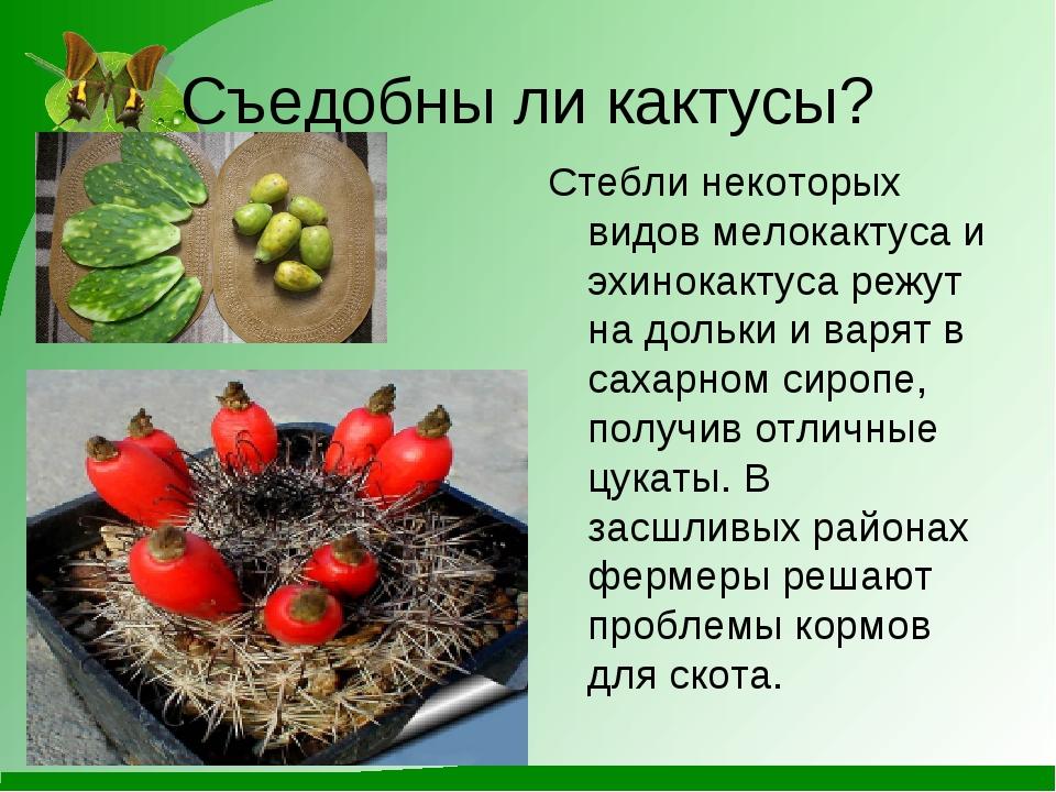 Съедобны ли кактусы? Стебли некоторых видов мелокактуса и эхинокактуса режут...